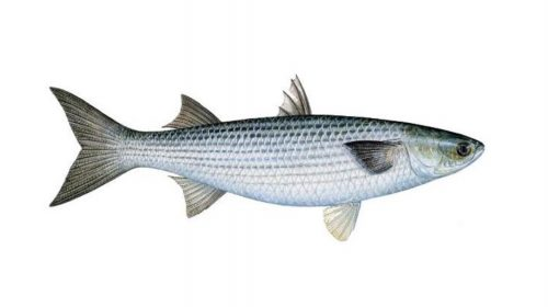 Thick Lipped Grey Mullet