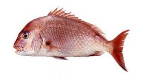 Red Sea Bream