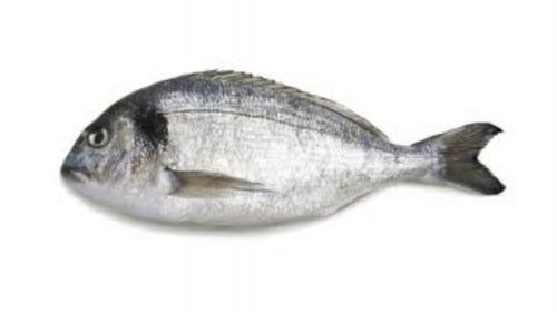 Gilthead Bream